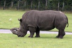 rinoceros 库存照片
