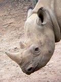 Rinoceros Royalty-vrije Stock Afbeelding