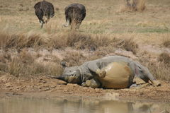 Rinoceros 3 Royalty-vrije Stock Afbeelding