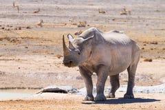 rinoceros Stock Foto