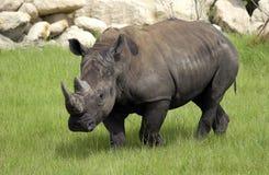 Rinoceros Royalty-vrije Stock Foto