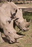 Rinoceros in Afrika Stock Afbeeldingen