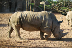 Rinoceros bij Afrikaanse safari Stock Afbeeldingen