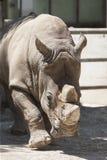 Rinoceros bij de dierentuin Stock Afbeelding