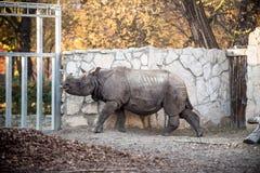 Rinoceros bij de dierentuin Stock Afbeeldingen