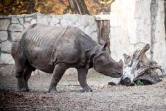 Rinoceros bij de dierentuin Stock Foto