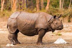 Rinoceros bij zoute lik royalty-vrije stock fotografie