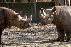 Rinoceros in de dierentuin Royalty-vrije Stock Foto