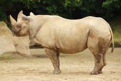 Rinoceros in de dierentuin in Dvur Kralove Royalty-vrije Stock Afbeelding