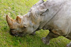 Rinoceros in de Dierentuin van Bratislava Stock Afbeeldingen