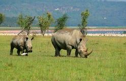 Rinoceros in de wildernis Royalty-vrije Stock Foto's