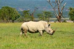 Rinoceros in de wildernis Stock Afbeeldingen