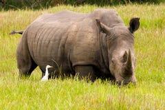 Rinoceros dichte omhooggaand Stock Afbeelding
