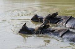 Rinoceros die afkoelen royalty-vrije stock foto
