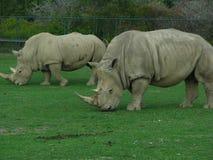 2 rinoceros die als dinosaurussen de dierentuin bekijken Royalty-vrije Stock Afbeeldingen