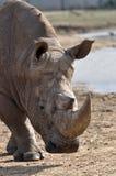 Rinoceros die dichter wordt Stock Afbeeldingen
