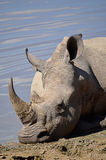 Rinoceros die door de waterpoel leggen Royalty-vrije Stock Afbeeldingen