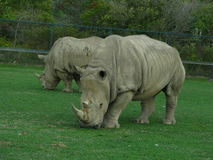 2 rinoceros die gemiddeld kijken Stock Afbeelding