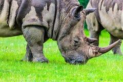 Rinoceros die gras eten Stock Foto's