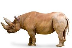 Rinoceros die op wit wordt geïsoleerdi Stock Foto