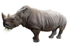 Rinoceros die op wit wordt geïsoleerdn Royalty-vrije Stock Afbeeldingen