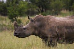 Rinoceros die over weg lopen stock fotografie
