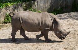 Rinoceros die in profiel lopen Stock Foto's