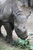 Rinoceros die verse bladeren eten Stock Afbeeldingen