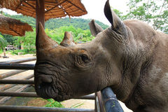 Rinoceros die voedsel zoeken Stock Foto's
