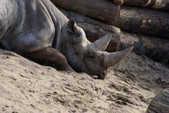 Rinoceros die in zand legt Stock Foto's