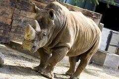 Rinoceros in een dierentuin stock foto