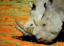Rinoceros en kalf Royalty-vrije Stock Afbeeldingen