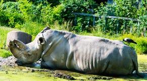 Rinoceros en Raaf samen op om het even welk ogenblik Royalty-vrije Stock Afbeeldingen
