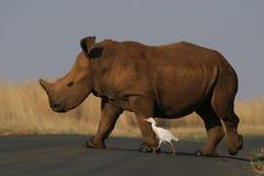 Rinoceros en vogel stock foto's
