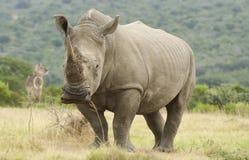 Rinoceros en Waterbuck Stock Afbeelding
