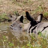 Rinoceros in gevangenschap stock afbeelding