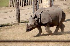 Rinoceros in gevangenschap royalty-vrije stock foto