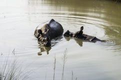 Rinoceros het Baden royalty-vrije stock afbeelding