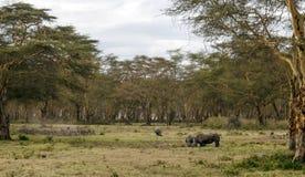 Rinoceros het eten Stock Foto's
