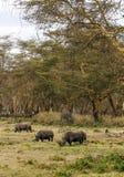 Rinoceros het eten Stock Afbeeldingen