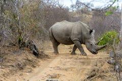 Rinoceros in het Grotere Nationale Park van Kruger, Zuid-Afrika Stock Afbeeldingen