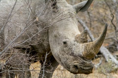 Rinoceros in het Grotere Nationale Park van Kruger, Zuid-Afrika Stock Fotografie