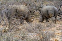 Rinoceros in het Grotere Nationale Park van Kruger, Zuid-Afrika Royalty-vrije Stock Foto