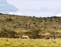Rinoceros het lopen Royalty-vrije Stock Foto's