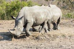 Rinoceros het lopen stock foto