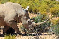 Rinoceros in het Nationale Park van Kruger Royalty-vrije Stock Fotografie