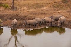 Rinoceros het Verzamelen zich Royalty-vrije Stock Foto's