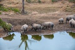 Rinoceros het Verzamelen zich Stock Foto's