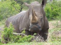 Rinoceros het weiden in Zuid-Afrika Royalty-vrije Stock Afbeeldingen
