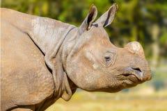 Rinoceros: hoofdschot Stock Afbeelding